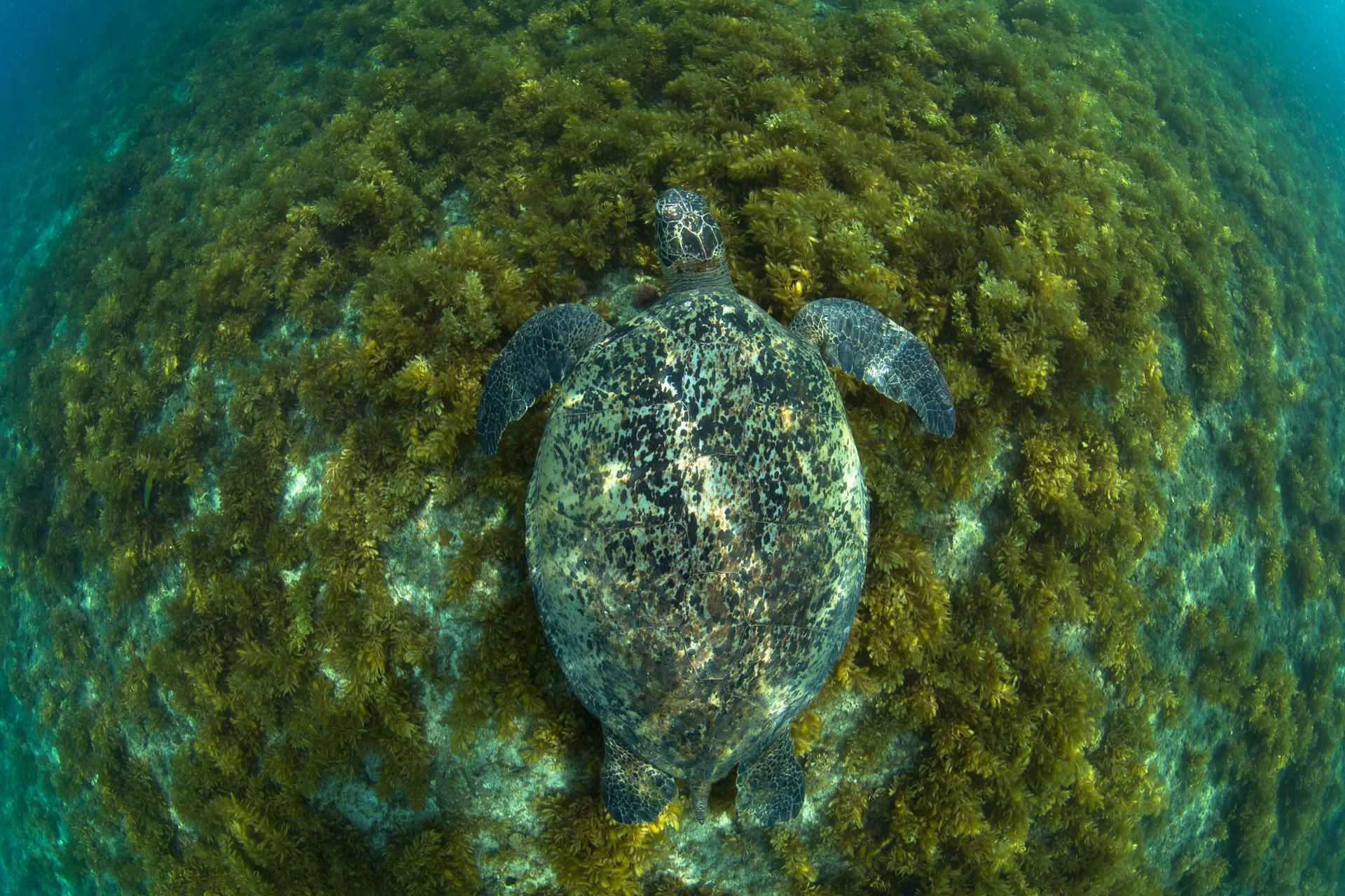 R36192的背甲長度約90公分,是一隻成熟的母綠蠵龜。攝影:蘇淮