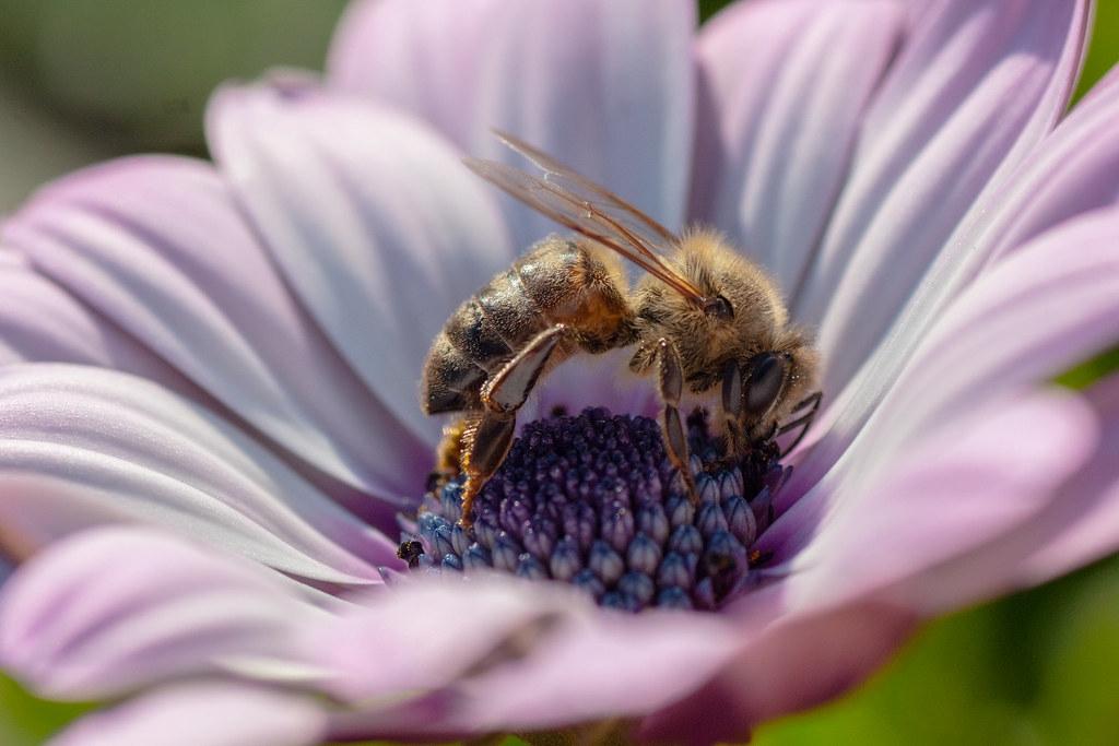 根據歐洲審計院的報告,歐盟在保護蜜蜂、胡蜂、食蚜蠅、蝴蝶等野生授粉者的作為幾乎沒有效果。照片來源:Onny Carr(CC BY-NC-ND 2.0)
