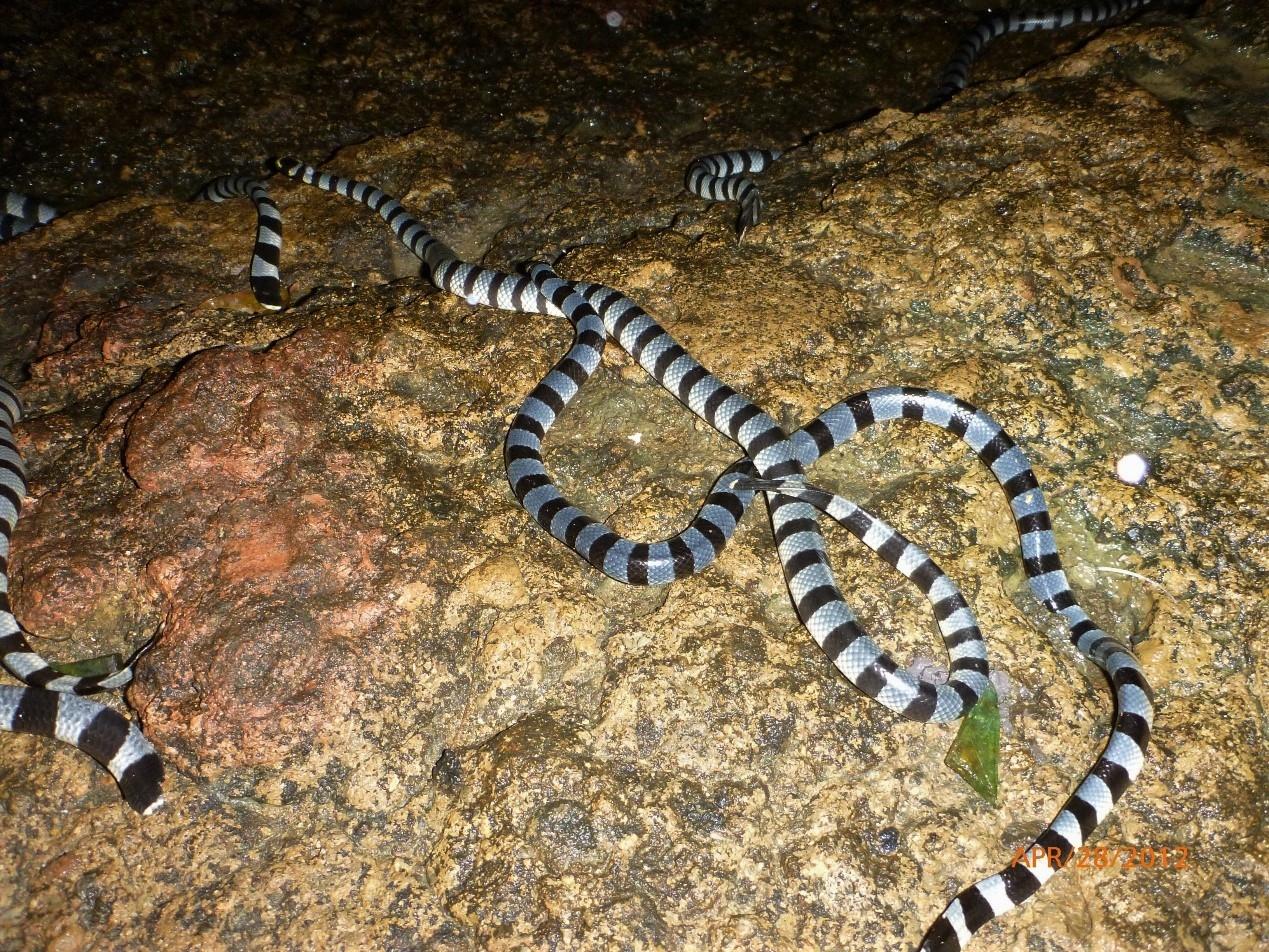 入夜後黃唇青斑海蛇陸續出現。攝影:杜銘章