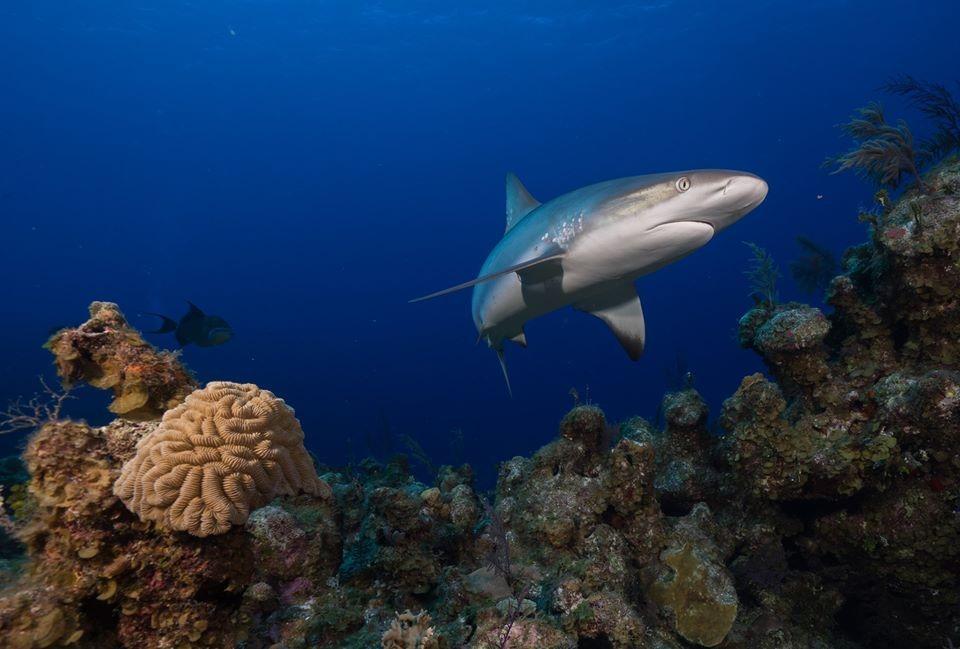 根據研究,受調查的珊瑚礁中有19%幾乎沒有鯊魚出現的紀錄,顯示鯊魚在該地已功能性滅絕。照片來源:Global FinPrint臉書
