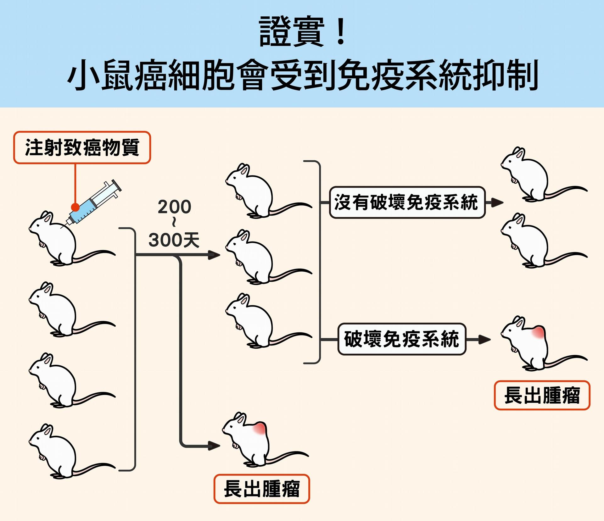 研究人員先對一群健康小鼠注射致癌物質,經過半年多,發現只有少數小鼠罹癌,大部分仍然很健康。接著,研究人員破壞小鼠的細胞性免疫系統,尤其是 T 細胞免疫,結果約一半的小鼠長出了腫瘤。結果證實:接觸致癌物的小鼠體內確實出現癌細胞,只是被免疫系統控制住了。 資料提供│陶秘華 圖說重製│林洵安