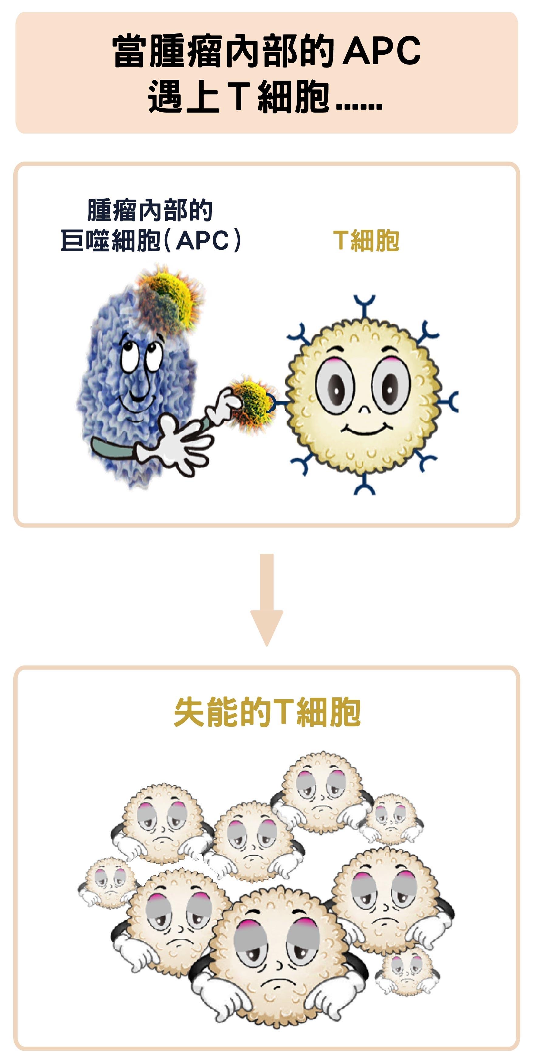 腫瘤中的巨噬細胞,反而會抑制T細胞的活化。 資料來源│陶秘華 圖說原作│張峰碧 圖說美化│林洵安