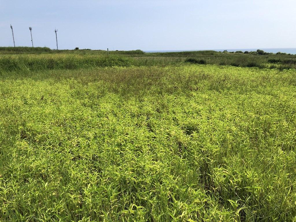 水甕菜田區隨著水稻收成任務暫歇,不過半島田區因增加一項作物,生物多樣性更豐富。攝影:廖靜蕙