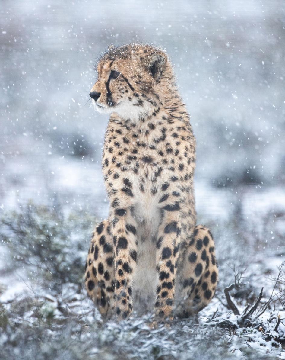 一隻最近野放到羅格克魯夫自然保護區的公獵豹在探索環境。這些新移入的貓科動物起初會被放在「博馬」(boma)裡,也就是欄舍,目的是讓牠們熟悉新環境。