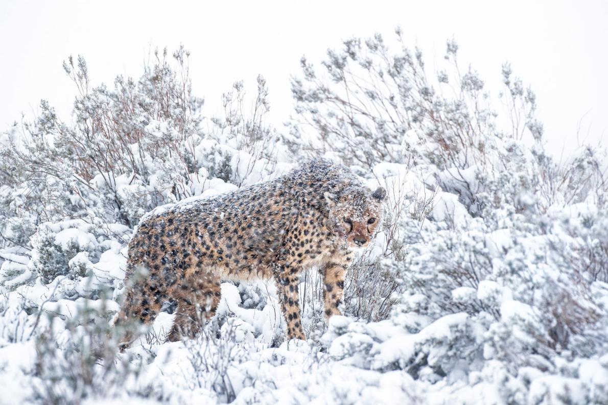 莫娜(Mona)是該保護區內最年長的母獵豹,牠在人類身邊非常自在。