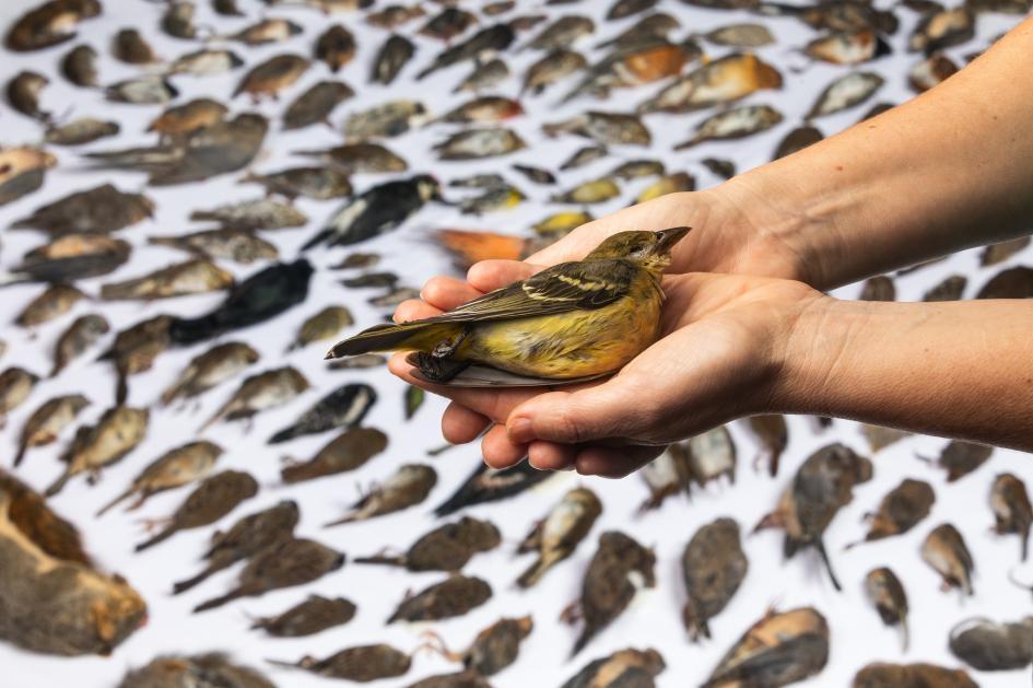 野生動物救護醫院的梅蘭妮.皮亞薩手捧著被貓殺死的黃腹麗唐納雀(western tanager)。攝影師杰克.汪德里記錄下2019年遭到貓咪攻擊而受傷、但野生動物救護醫院無法救活的232隻動物。在三百多隻因遭貓攻擊而被送到救護中心的受傷動物中,只有89隻存活。PHOTOGRAPH BY JAK WONDERLY