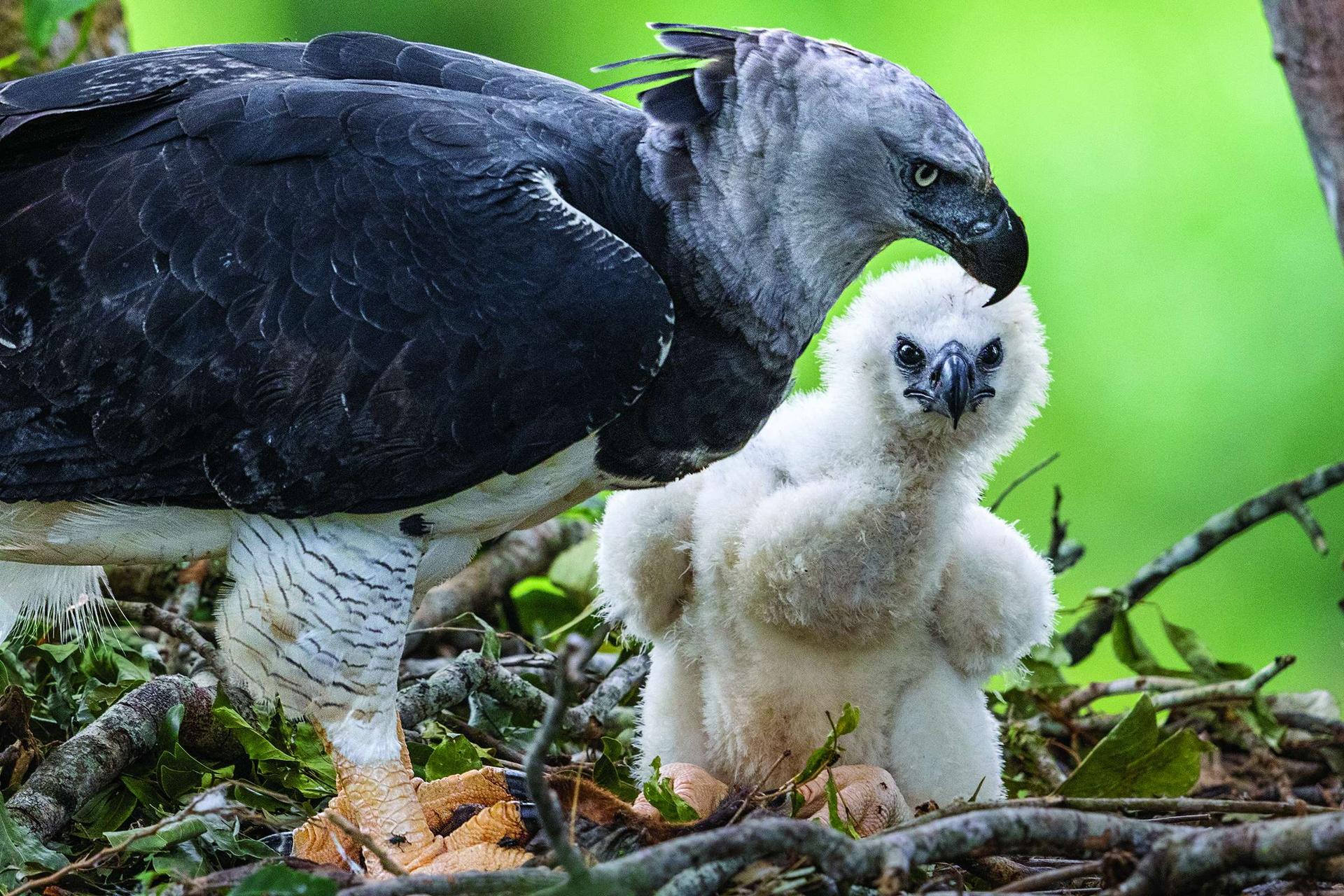 巴西亞馬遜地區的一隻角鵰在巢中守護牠的雛鳥。雌鳥體型比雄鳥大,體重可達11公斤,爪子通常比灰熊的還要大。自19世紀以來,角鵰在中南美洲的分布範圍已經減少了40%以上。攝影:凱琳.艾格納 KARINE AIGNER
