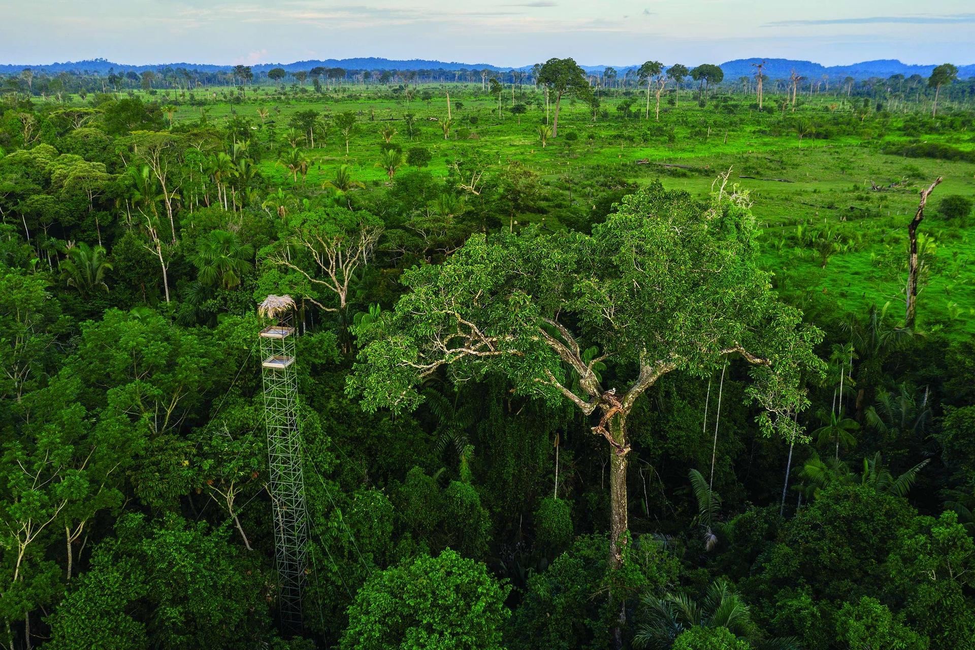 角鵰現在主要生活在亞馬遜雨林中,在那裡,為了經營牧場而砍伐樹木的行為正逐漸摧毀角鵰的棲地。保育人士盼望,遊客付費從圖中這樣的高塔上觀察角鵰巢,能夠讓牧場主賺到足夠的錢,減少砍伐森林。攝影:凱琳.艾格納 KARINE AIGNER