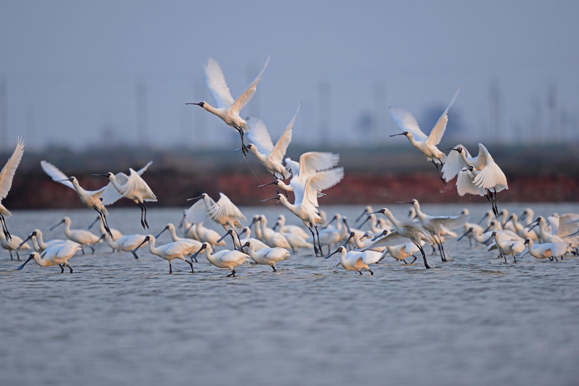 黑面琵鷺是瀕危鳥種,全球總數量不超過3000隻,台灣是黑面琵鷺最大的度冬地,尤以台南曾文溪口數量最多。