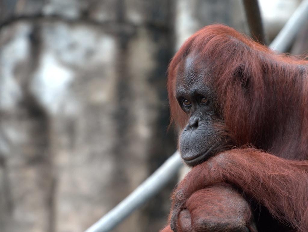 人類為開發棕櫚油,嚴重壓縮婆羅洲猩猩(Bornean Orangutan)生活空間。圖片來源:b k(CC BY-SA 2.0)