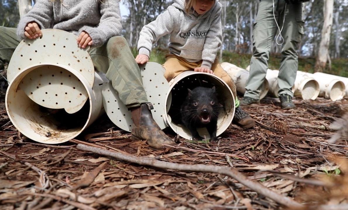 袋獾進入牠們在澳洲東部桉樹林的新家。PHOTORGAPH COURTESY OF WILDARK