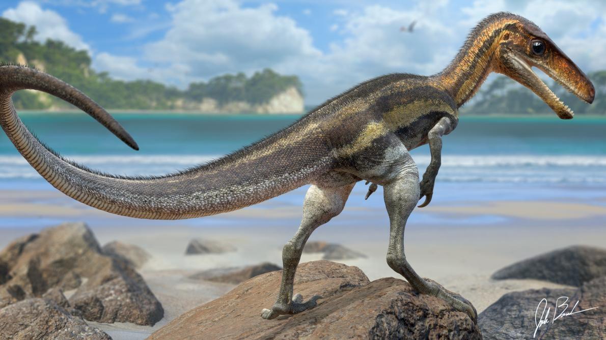 侏羅獵龍(<i>Juravenator</i>)是一種生活在1.5億年前現今德國的小型掠食恐龍,牠尾巴上保存的鱗片有著小小的突起物,科學家相信那是感覺器官。 ILLUSTRATION BY JAKE BAARDSE