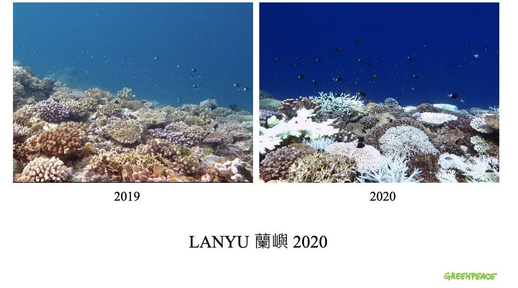蘭嶼珊瑚急遽白化。綠色和平提供
