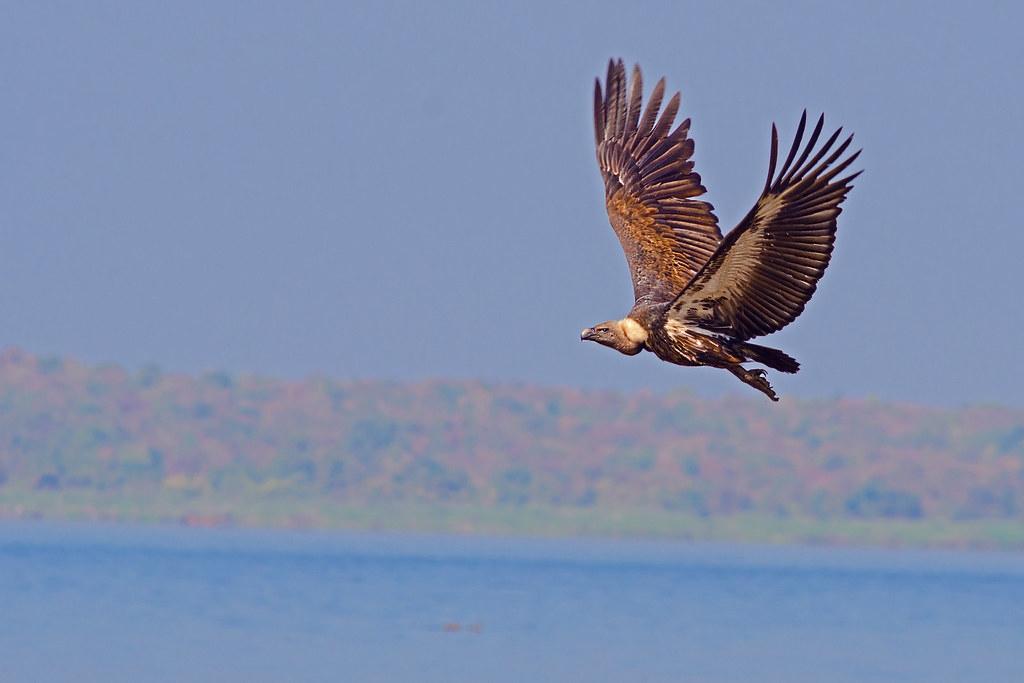 因為農藥毒害問題而瀕危的空中王者。圖為白背兀鷲。圖片來源:Deepak sankat via Wikimedia Commons (CC BY 4.0)