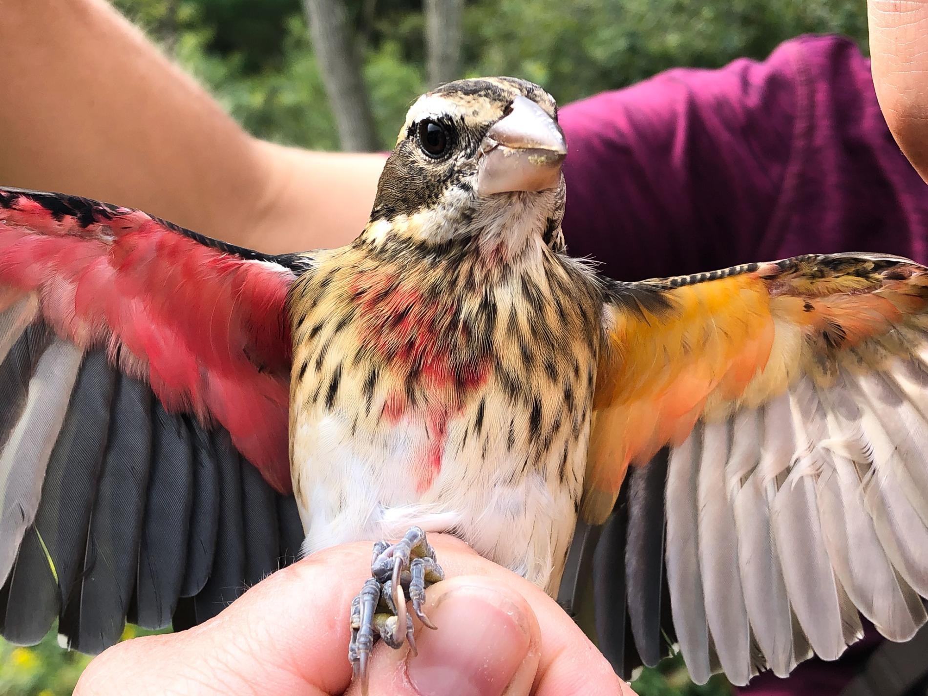 研究人員9月時在火藥廠自然保留區抓到了這隻玫胸白翅斑雀。牠黃色的那半邊身體是雌的,而紅色那半邊是雄的──這是一種名為「雌雄雙嵌體」的症狀。PHOTOGRAPH BY ANNIE LINDSAY