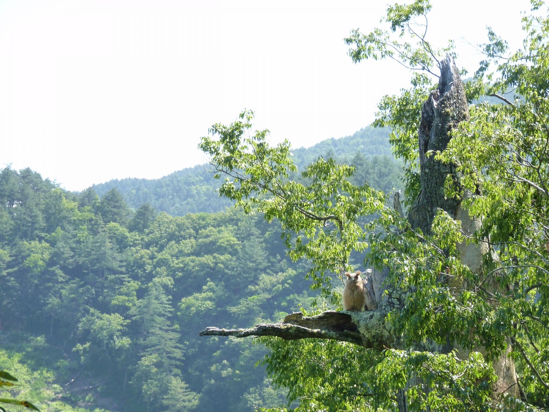 約50天大的黃魚鴞幼鳥走出樹洞,即將離巢(攝影:孫元勳)