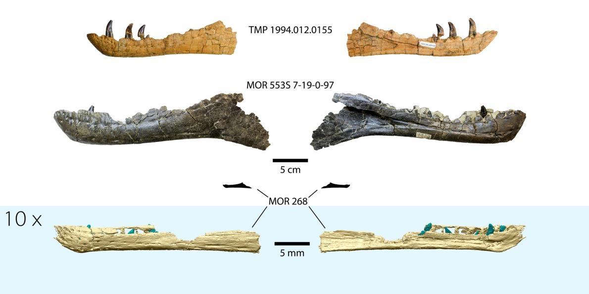 圖片下方為胚胎期暴龍下顎的3D重建圖,上為和其他已知暴龍下顎骨的比較。最底下的影像將這塊下顎以其他影像十倍的比例放大以便比對,而放大圖上方的小剪影顯示這枚標本和其他較大下顎相比之下的真實大小。 © GREGORY FUNSTON, 2020