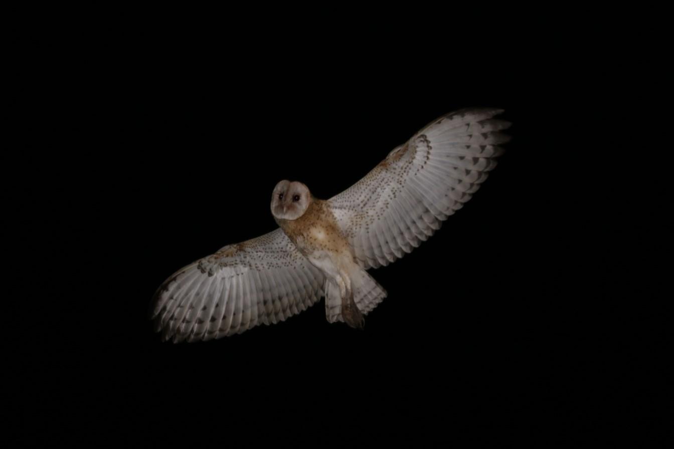 草鴞(攝影:李昱緯)