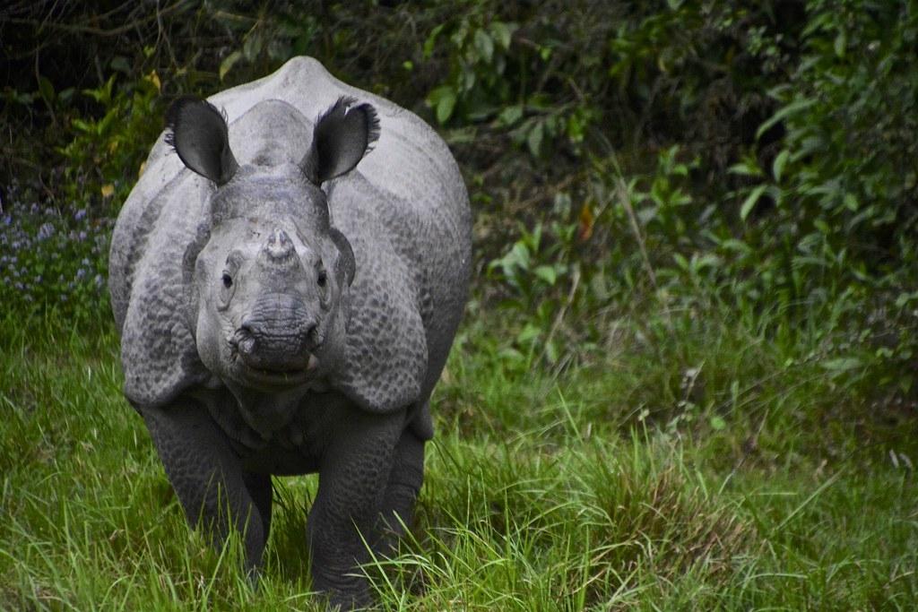 尼泊爾的印度犀正面臨新威脅,異常的天氣增加了牠們死亡風險。照片來源:Antonio Cinotti(CC BY-NC-ND 2.0)