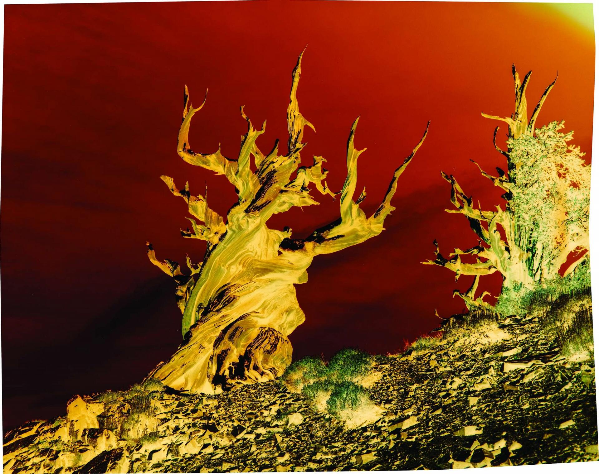 自然不朽:加州東部的刺果松能存活4000年,甚至更久。攝影:約翰.奇亞拉 JOHN CHIARA