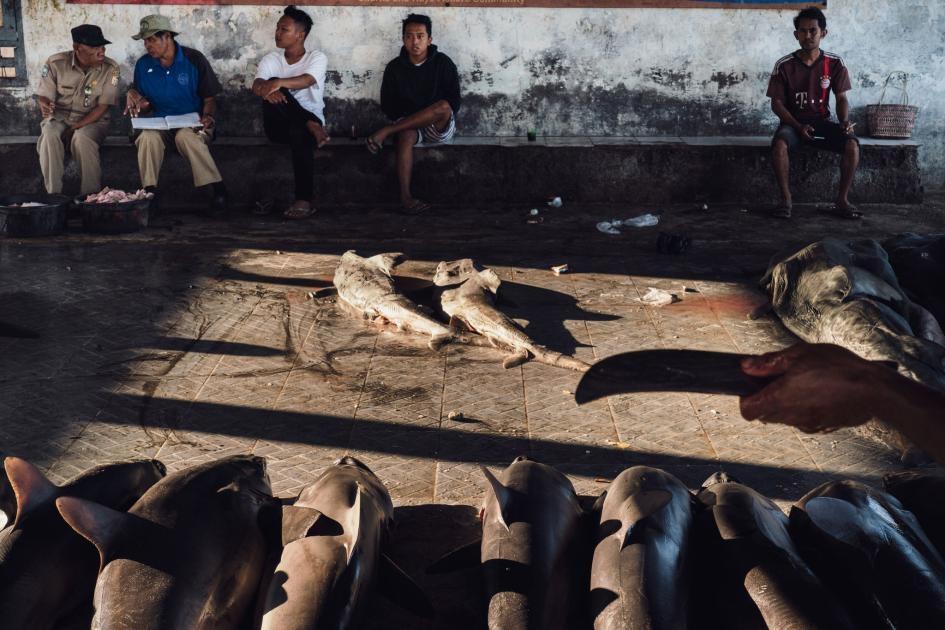 拍賣商、魚市場員工、買家和其他人在坦朱魯安等待拍賣開始。每一排的鯊魚都屬於不同漁船船員。