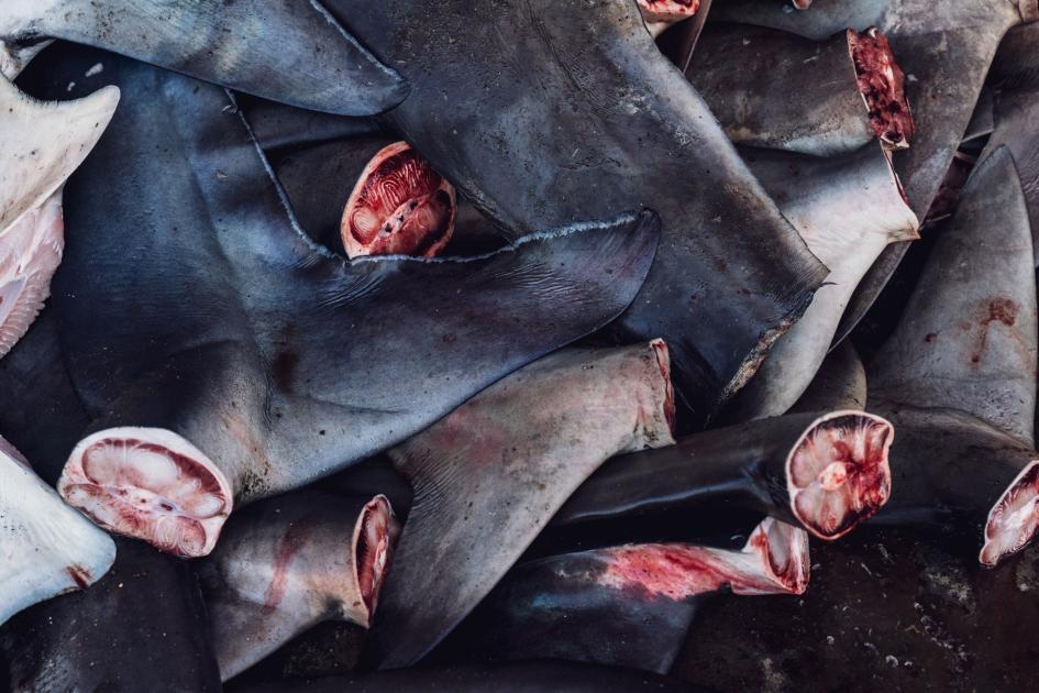 在坦朱魯安的魚市場,會把鯊魚的尾部跟魚鰭切下來。