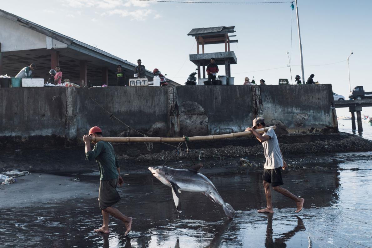 印尼龍目島的坦朱魯安(Tanjung Luar),漁民正卸下一隻鯊魚。這個國家是主要的魚翅出口國,其中有許多都是從這個漁村的港口輸出的。