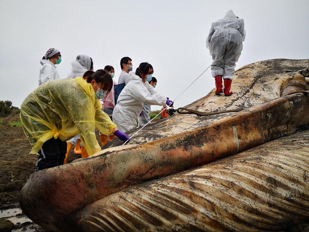 藍鯨擱淺考驗海保救援網即刻救援能力,也累積了珍貴經驗。圖片來源:海保署