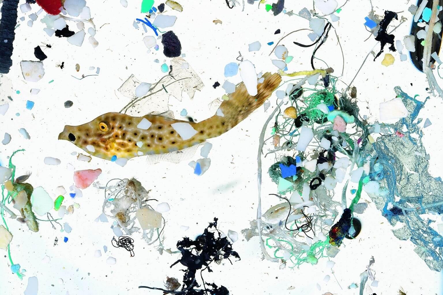 夏威夷外海的幼魚棲息場,現在充斥著微塑膠。許多海洋魚類靠著海面油狀物長大,這些天然多油的海面富含浮游生物和其他魚的食物,根據美國國家海洋及大氣總署在檀香山的研究人員調查,海面油狀物現在也含有許多塑膠。他們用細目漁網在大島外海的海面油狀物中拖撈,再將撈上來的東西加以分析。照片中這隻5公分長的長尾革單棘魨大約50天大,正在一大片「塑膠湯」中游動。攝影:大衛.李特舒瓦格 David Liittschwager,攝於夏威夷凱魯瓦NOAA太平洋島嶼漁業科學中心的臨時野外實驗室。
