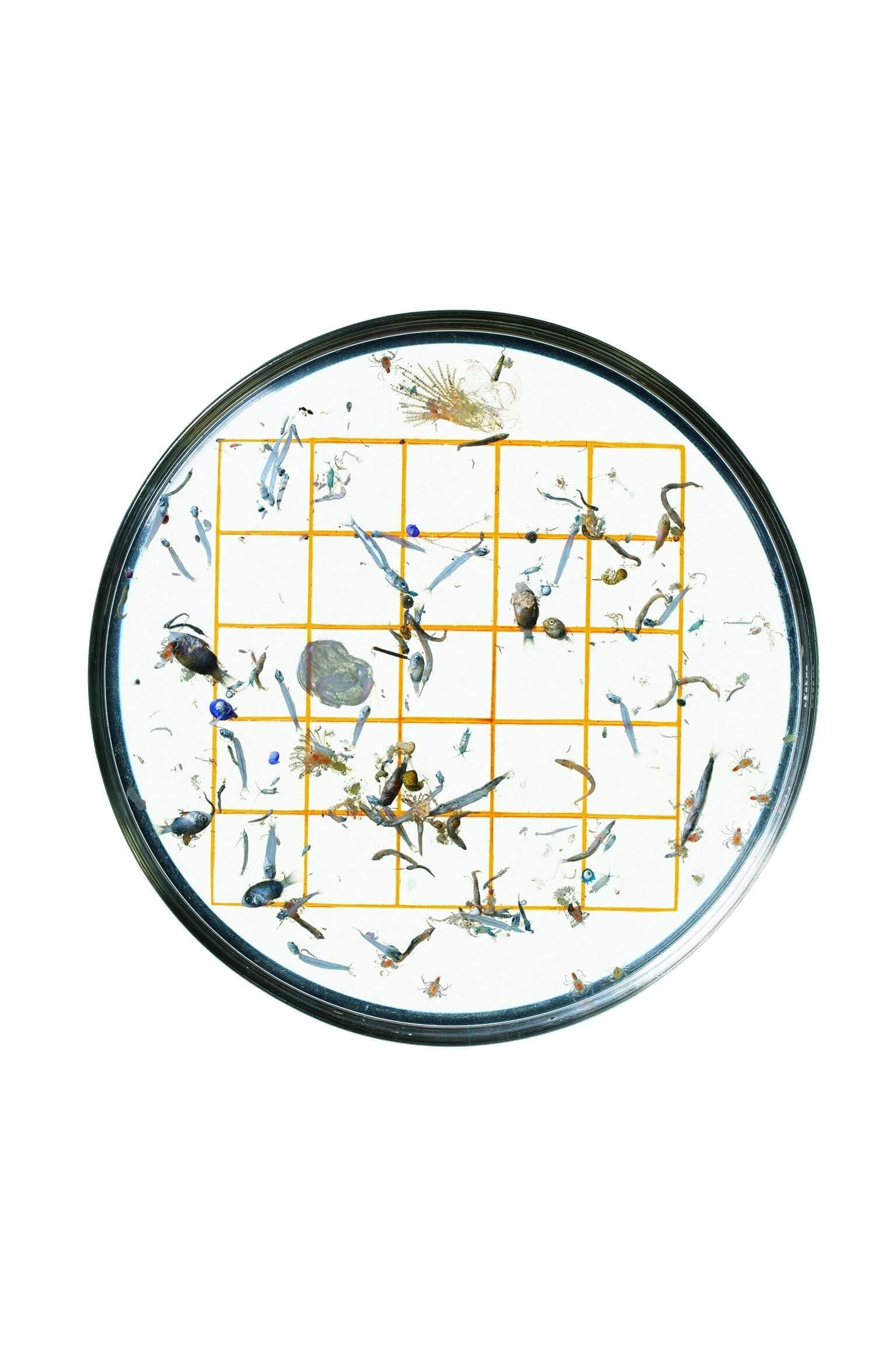 畫上網格的培養皿有助於NOAA的技術人員整理樣本,並鑑定裡面的微小生物,像是最左排中間格子外的豆娘魚仔魚。每個格子的長寬都是1公分。攝影:大衛.李特舒瓦格 David Liittschwager,攝於夏威夷凱魯瓦NOAA太平洋島嶼漁業科學中心的臨時野外實驗室。