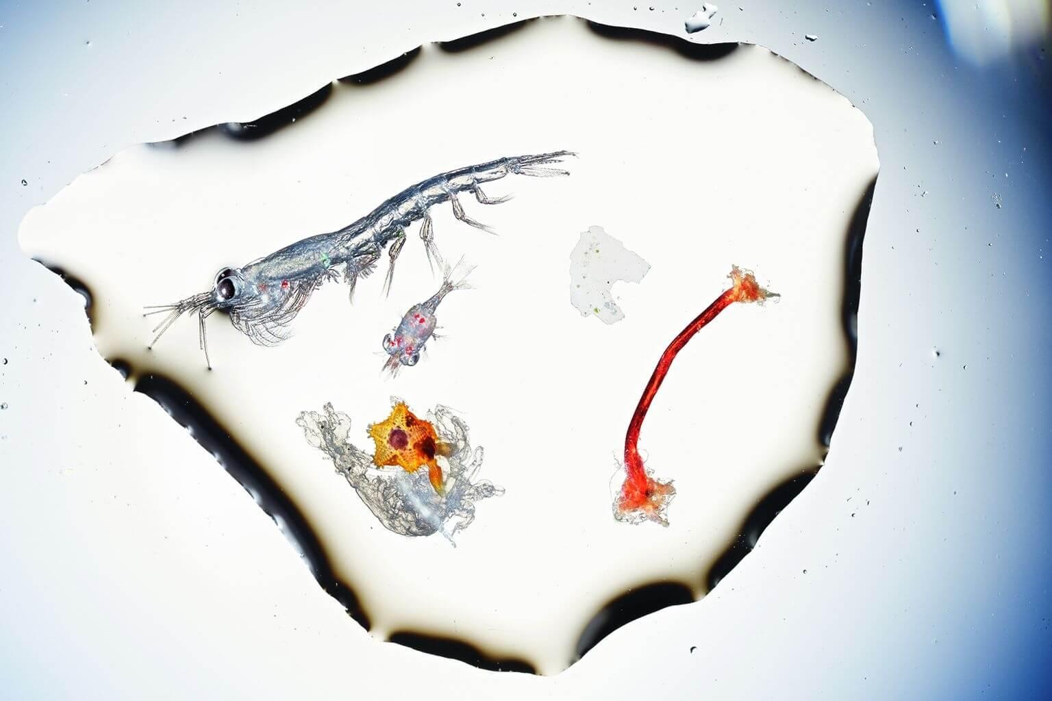 左邊是魚的食物,右邊是塑膠。從英吉利海峽取來的少許表層海水中,有一隻狀似蝦子的鱗蝦,體長約8公釐;還有一隻比較小的十足類甲殼動物,以及一隻橘色海星,牠才剛度過在薄膜中漂浮的幼蟲階段。右邊的白色碎片和磨損的紅色纖維是聚乙烯,但對幼魚來說可能看起來和食物沒兩樣。在一項2017年的研究中,普利茅斯海洋實驗室和普利茅斯大學的研究人員捕撈了一群仔魚,結果發現有3%的仔魚吃下了微塑膠纖維。攝於英國普利茅斯的海洋生物協會。塑膠種類由普利茅斯大學鑑定。攝影:大衛.李特舒瓦格 David Liittschwager