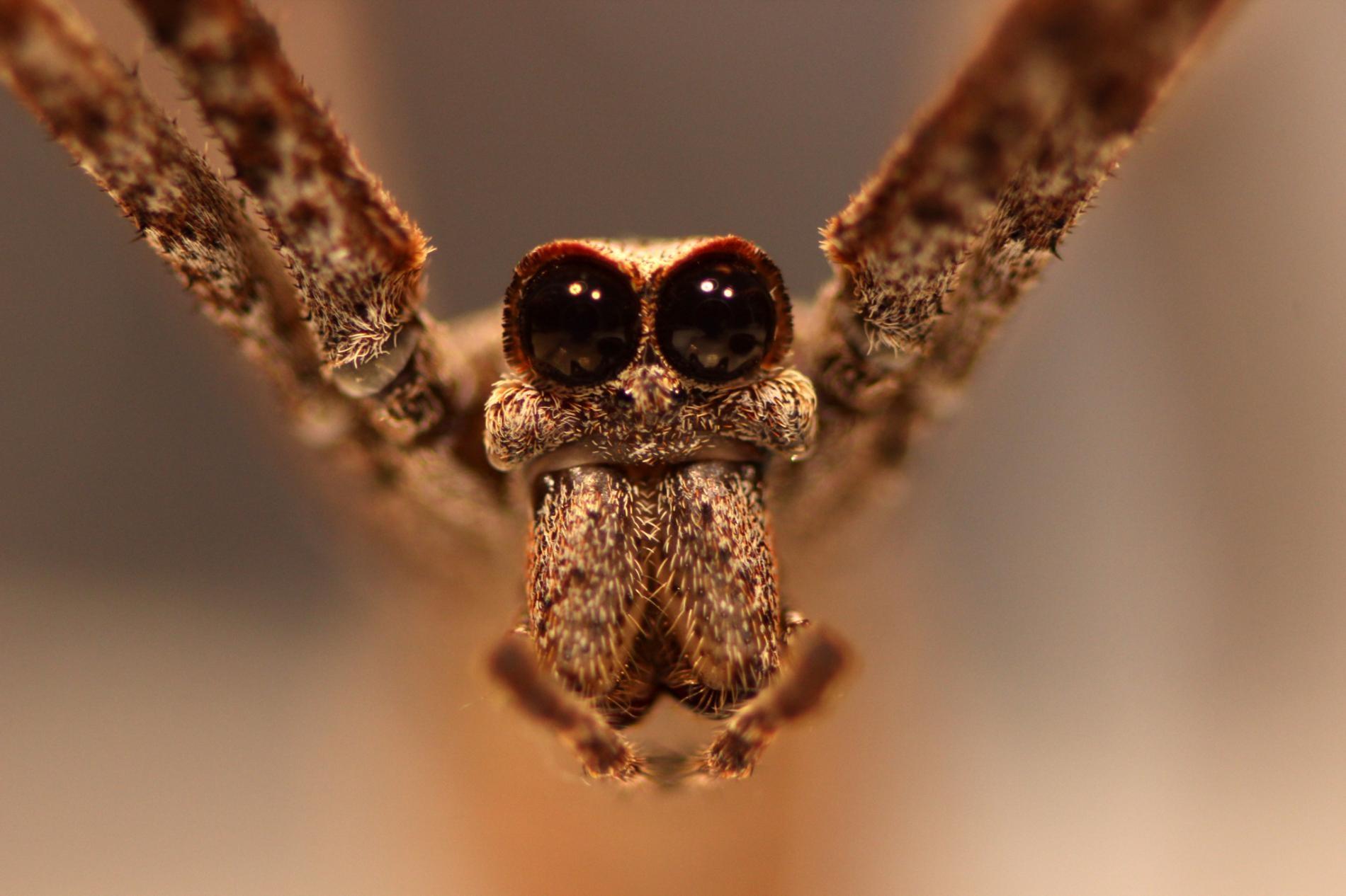 鬼面蛛有八個眼睛,其中朝向正面的兩顆超大眼睛是牠獲得這個名稱的原因。PHOTOGRAPH BY JAY STAFSTROM