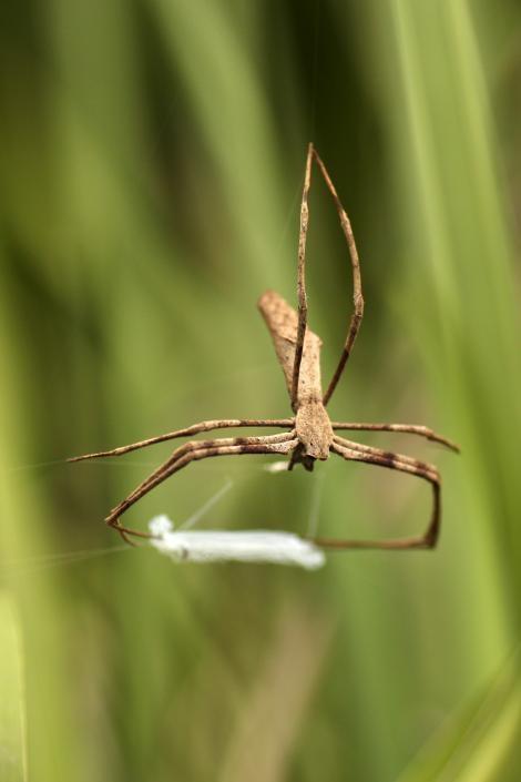 根據這份研究,鬼面蜘蛛會用絲織出一個有黏性的網子,然後以子彈般的極快速度,在頭頂上方「翻轉」以捕捉飛行中的昆蟲。PHOTOGRAPH BY JAY STAFSTROM