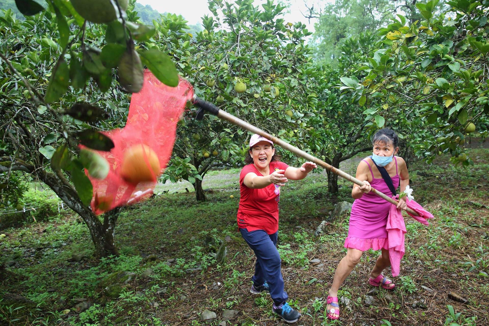民眾在中秋節前夕前往三富休閒農場體驗文旦柚的採果樂趣,因樹形較高,採果需要以網子來協助。三富休閒農場擁有3公頃約300多棵柚子樹,早年也曾採摘並至市場販售,轉型為休閒農業後,以自然有機方式放養,任由其花開、花落、結果、腐爛、讓養分回歸大地,生物鏈自行運作,孕育出豐富的自然生態,柚子園因而成為貓頭鷹、鳥類、昆蟲、山羌等的「自助餐廳」,每年只在9月白露節氣開放讓遊客自採,並將採果收入全部捐贈作為公益。
