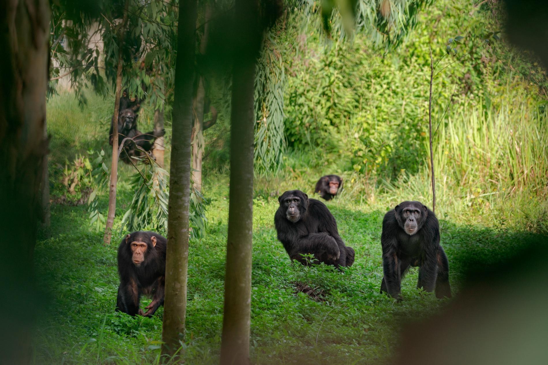 在烏干達的一群黑猩猩。有些黑猩猩的優勢雄性採用鐵腕統治,有些則以較溫和的方式治理。PHOTOGRAPH BY RONAN DONOVAN, NAT GEO IMAGE COLLECTION