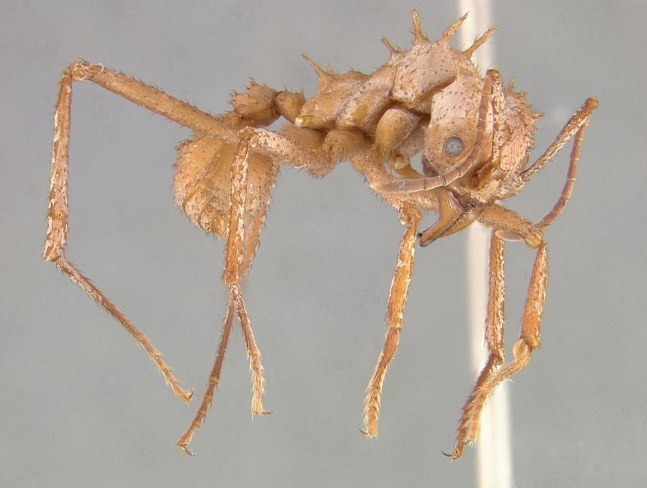 棘頂切葉蟻的盔甲有助於牠們在與其他螞蟻的戰爭中活下來。 PHOTOGRAPH COURTESY OF EUGENIA OKONSKI, SMITHSONIAN INSTITUTION