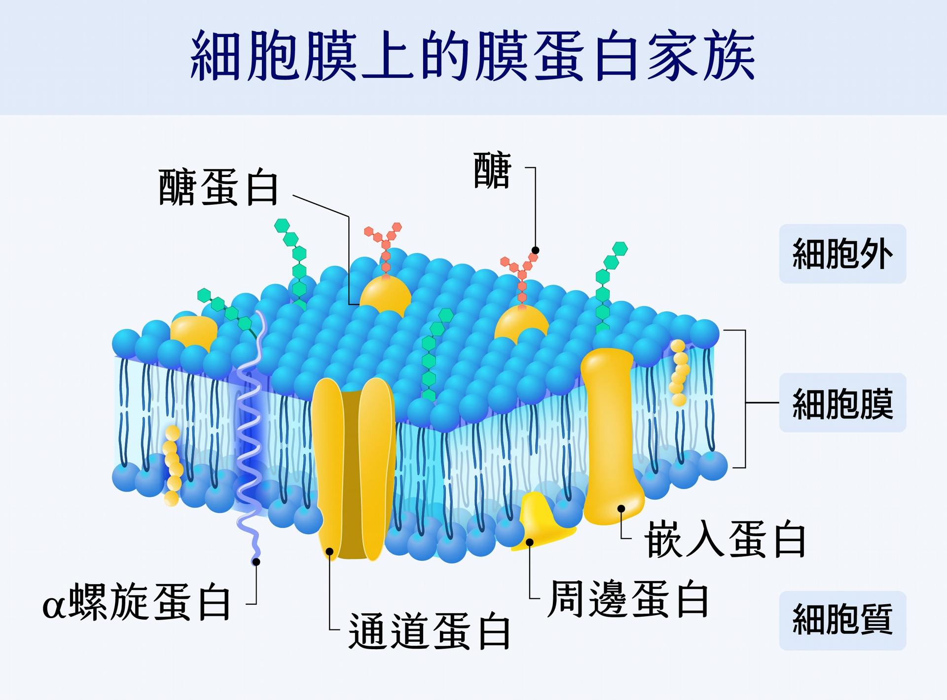 細胞膜上含有大量的膜蛋白質(人體內至少有 8000 種),膜蛋白質調控了很多重要的細胞功能,例如通道蛋白可負責細胞間物質運輸,醣蛋白可提供免疫系統辨識自身和外來細胞,其他膜蛋白質的功能還包括訊息接收、催化反應等等。 陳玉如團隊以質譜儀全面性定量膜蛋白體,可幫助科學家了解與膜蛋白質相關疾病的原理,開發疾病檢測或是藥物標靶蛋白質。以癌症為例,現在使用的癌症標識分子(biomarker)大多數就是膜蛋白質。 圖│iStock