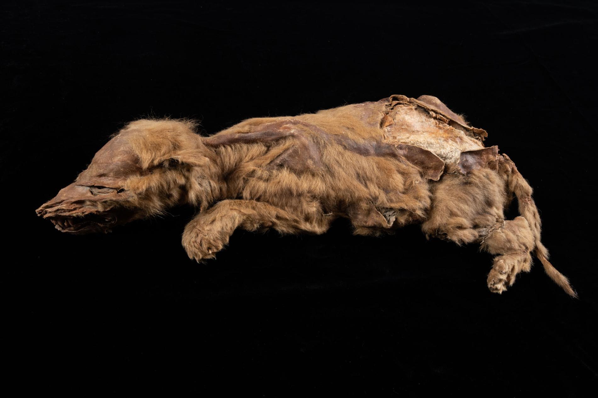 這隻幼崽過世時才七週大,牠所屬的灰狼族群經由白令陸橋自西伯利亞首度遷徙到育空地區。PHOTOGRAPH BY GOVERNMENT OF YUKON