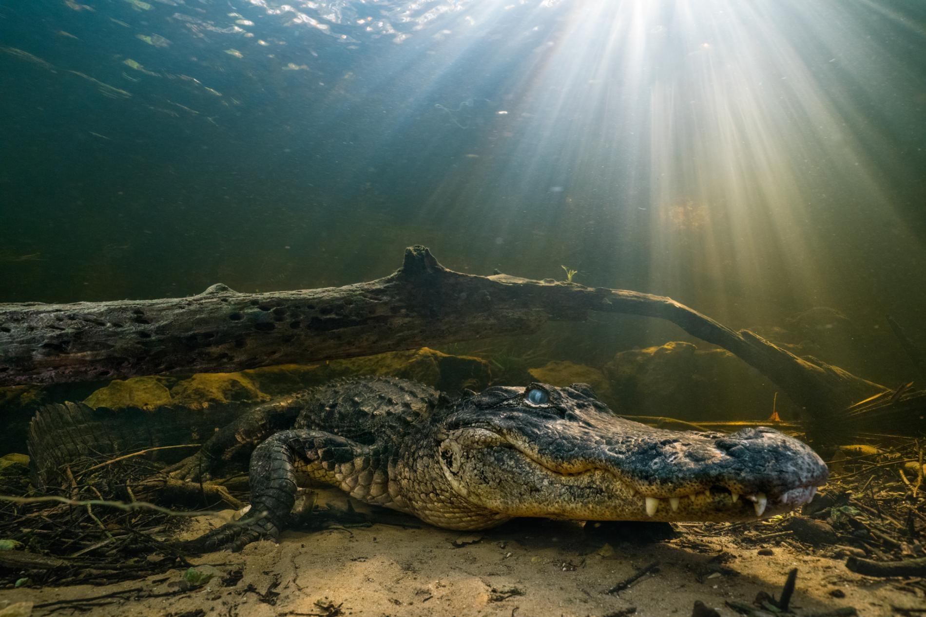 幼年時期的美洲短吻鱷很弱小,是鳥類、浣熊和其他短吻鱷的獵物。有一項研究發現,牠們的尾巴可以部份再生,而尾巴對行動能力至關重要。PHOTOGRAPH BY KEITH LADZINSKI