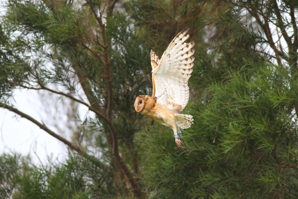 包括東方草鴞在內的9種「特定鳥種」,目前資料最齊全。攝影:吳志典