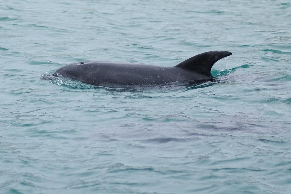 根據發表在《科學報告》期刊的研究,海豚的一種致命皮膚病與氣候危機有關。圖為澳洲瓶鼻海豚。圖片來源:Michael J Fromholtz/維基百科(CC BY-SA 3.0)