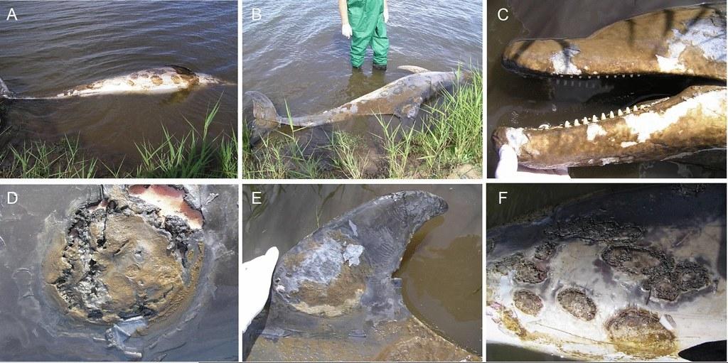 2007年一隻成年雌性澳洲瓶鼻海豚被發現死於嚴重皮膚病。照片來源:《科學報告》期刊