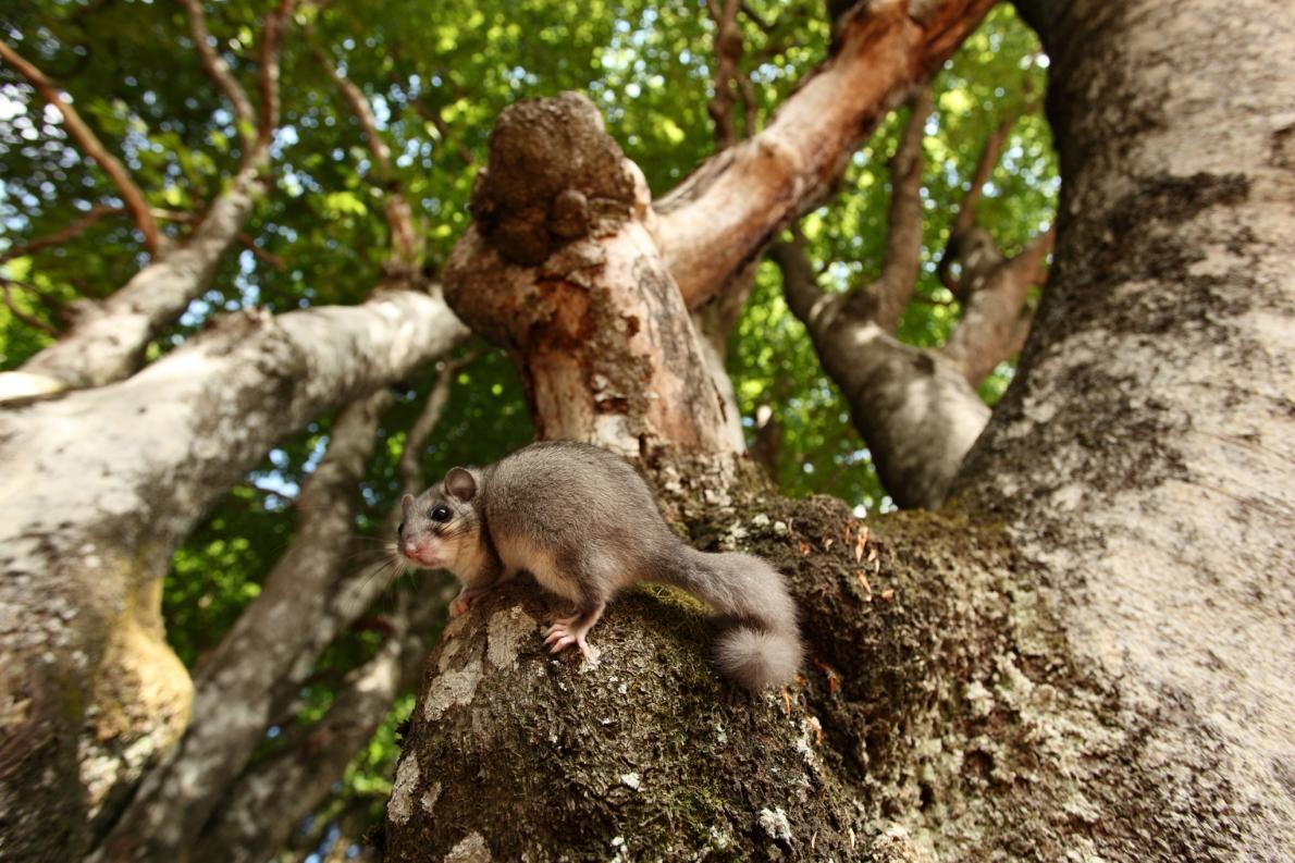可食用睡鼠(照片中是一隻在德國黑森林山毛櫸樹上的個體)廣泛分佈於歐洲。古羅馬人將這些松鼠的親戚視為一道美味佳餚。PHOTOGRAPH BY KLAUS ECHLE, NATURE PICTURE LIBRA