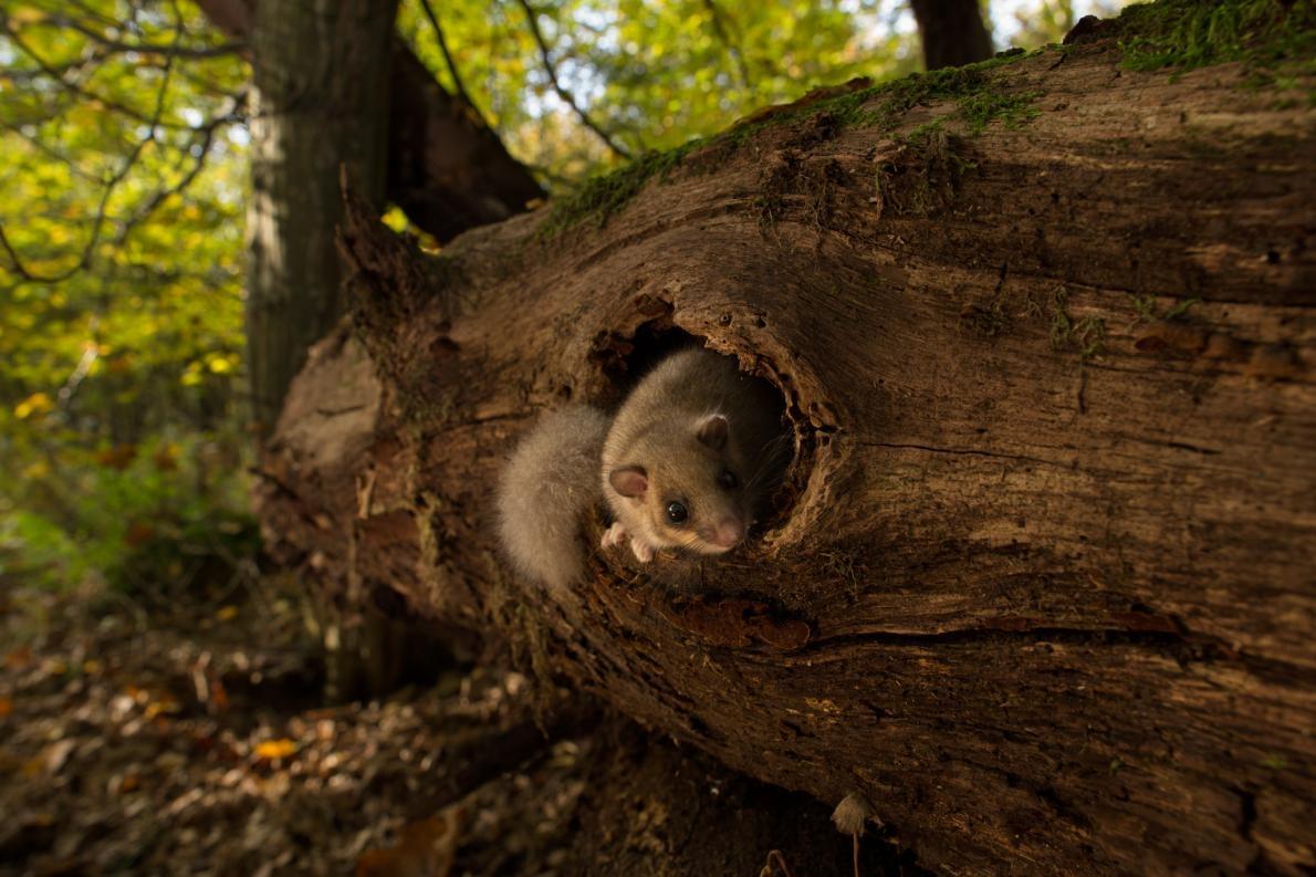 一隻可食用睡鼠從德國黑森林中一棵倒下樹木的樹洞中探出頭來。這些動物能夠冬眠 11 個月。PHOTOGRAPH BY KLAUS ECHLE, NATURE PICTURE LIBRARY