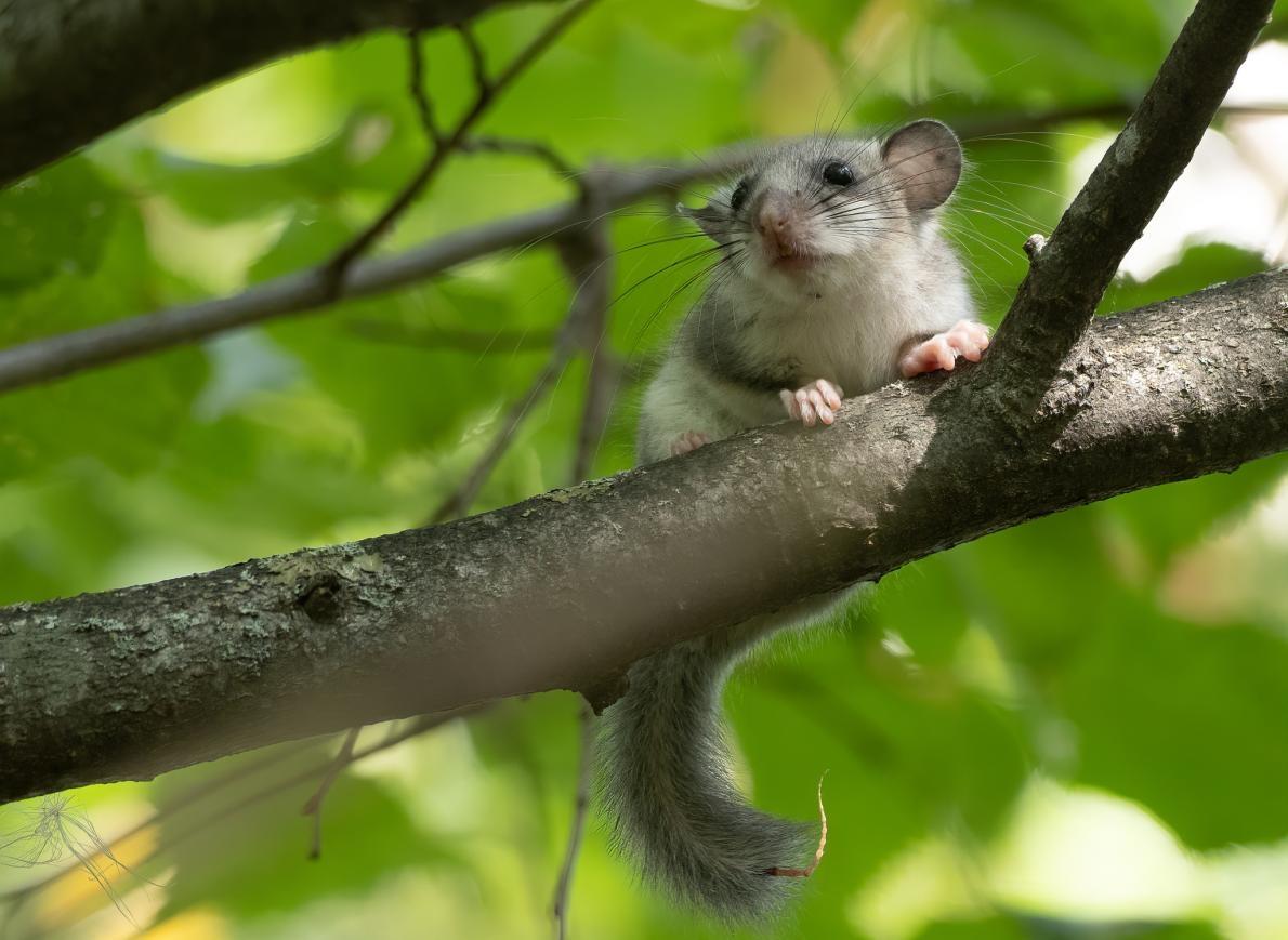 一隻可食用睡鼠在涅里斯地區公園的樹枝上休息。此物種只出沒於十座立陶宛的森林中。PHOTOGRAPH BY THE FOREST STEWARDSHIP COUNCIL, MARIUS ČEPULIS