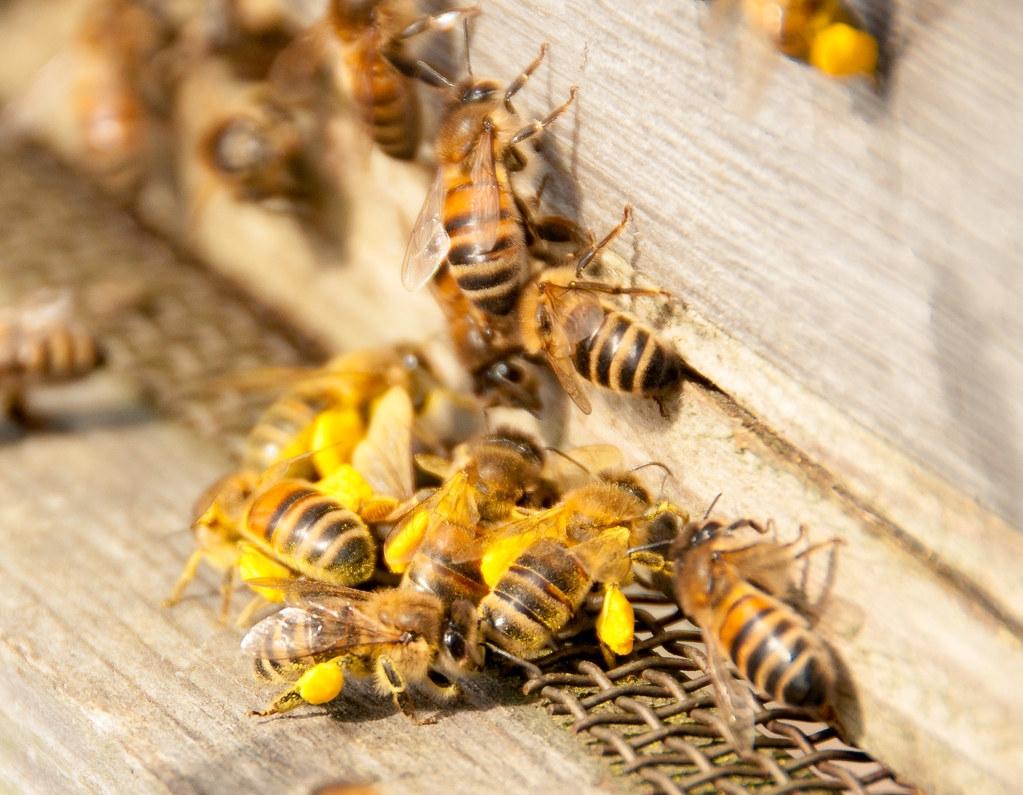 每年1月,全美各地養蜂人載著有數百萬隻蜜蜂的蜂箱幫加州的杏仁授粉。示意圖。照片來源:Paul Rollings(CC BY 2.0)
