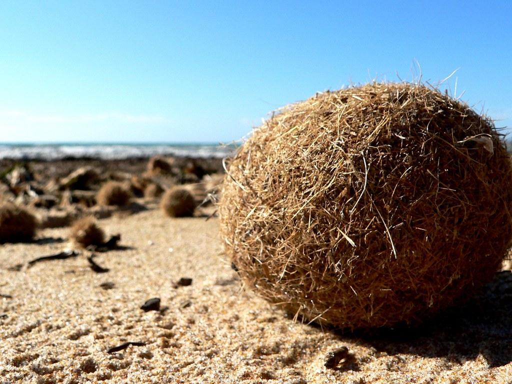 地中海特有海草形成的纖維球,每年沖刷至沿岸沙灘上,又被稱為「egagropili」或「海王星球」(Neptune balls)。圖片來源:Ezu (Martino A. Sabia)/維基百科(CC BY-SA 2.0)