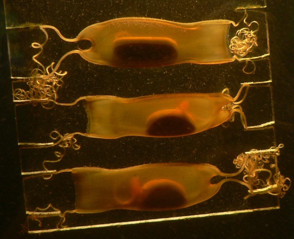 貓鯊科的卵鞘和尚未孵化的鯊魚。照片來源:Armin Wolfermann(CC BY-NC-ND 2.0)