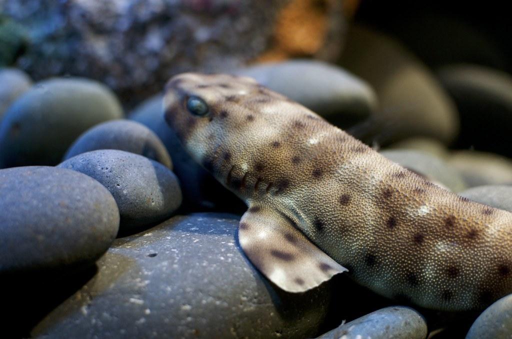 研究發現,隨著海溫升高,鯊魚卵鞘會提早孵化且鯊魚變得較虛弱。照片來源:City.and.Color(CC BY 2.0)