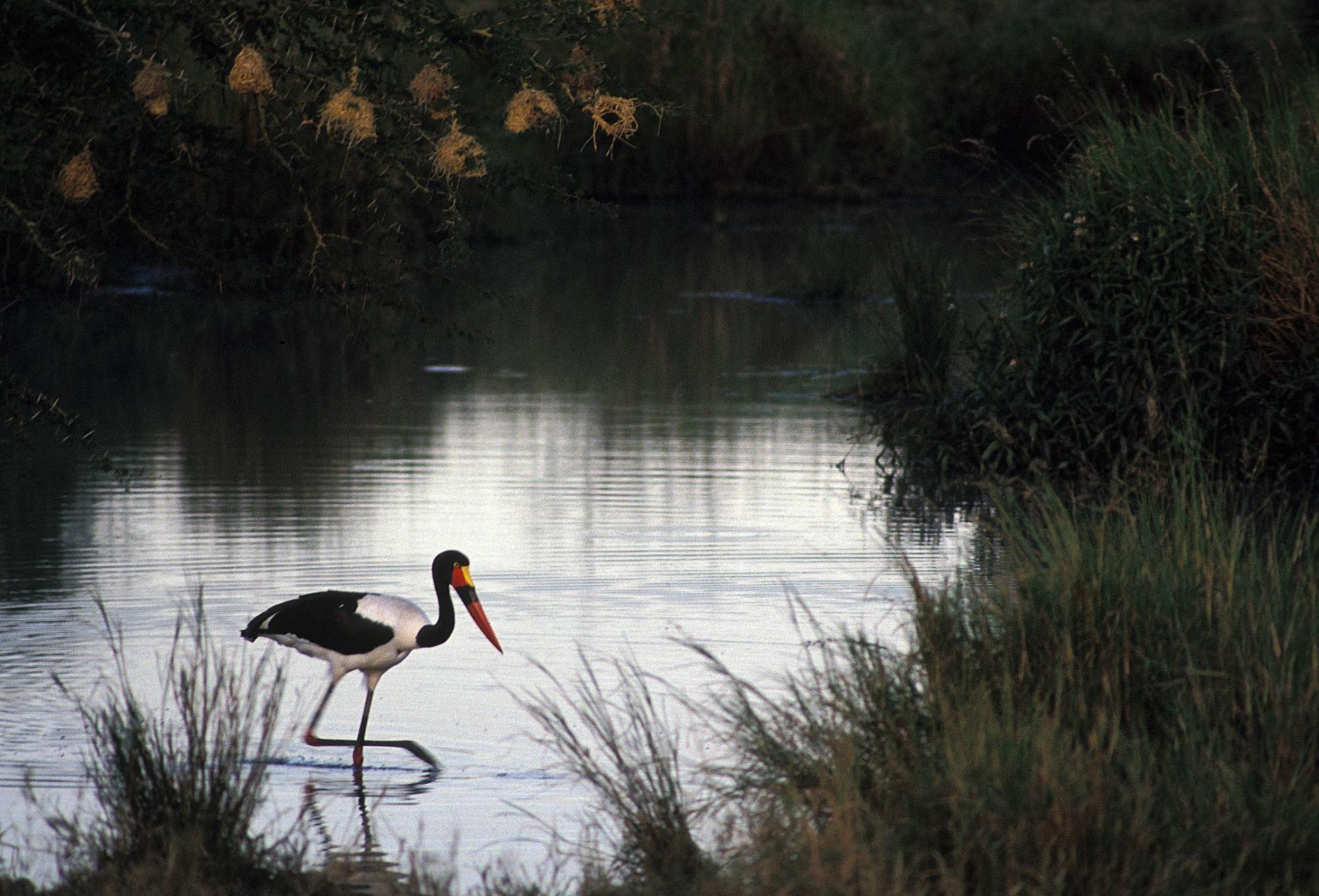 沒有任何現生動物能完美類比棘龍,但是有些科學家認為這種恐龍可能曾在淺水區涉水而行,如這隻拍攝於坦尚尼亞的鞍嘴鸛(saddle-billed stork,<i>Ephippiorhynchus senegalensis</i>)。PHOTOGRAPH BY RICHARD J. GREEN, SCIENCE SOURCE